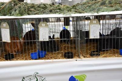Prvá vlašská výstava králikov a hydiny [27.-29.09.2019]
